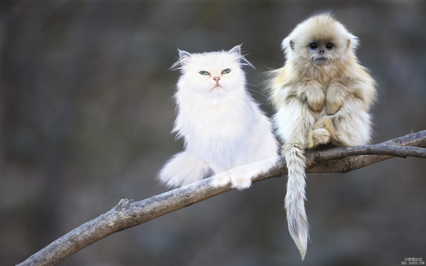 Cute-shaggy-macaque_1440x900 拷贝.jpg